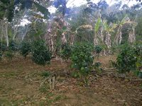 Bigger coffee plants!