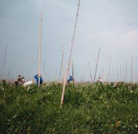 Cultivating fields on Inle Lake, Myanmar.