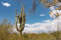 The monster saguaro.
