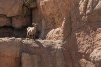 Desert big horn sheep.