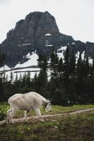 Mountain Goats! Glacier National Park, Montana, United States.