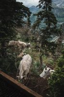 More mountain goats near Oberlin boardwalk! Glacier National Park, Montana, United States.