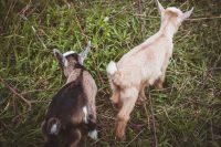 Baby goat take two.