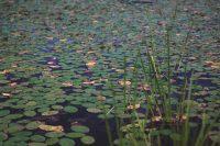 Lilypads dominate Sawmill Lake.