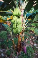 Bananas on the plantation located at the bottom of the Fajã dos Padres Elevator.