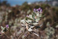 Flora in Torrey Pines State Natural Reserve, La Jolla, California
