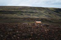 A sheep alongside the gorge above the river Fossá