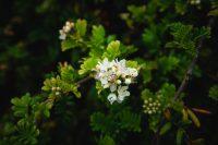Flowers along the Ohai Trail, Maui