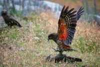 Keas (alphine parrots) mating.