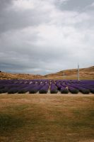 Many people pay to enter a lavender field near Aoraki/Mount Cook National Park for a selfie...