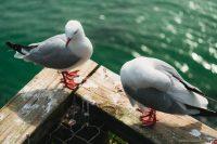 Gulls at The Royal Albatross Centre