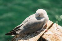Gull at The Royal Albatross Centre