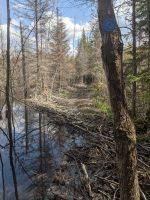 Beaver dam on the CL50